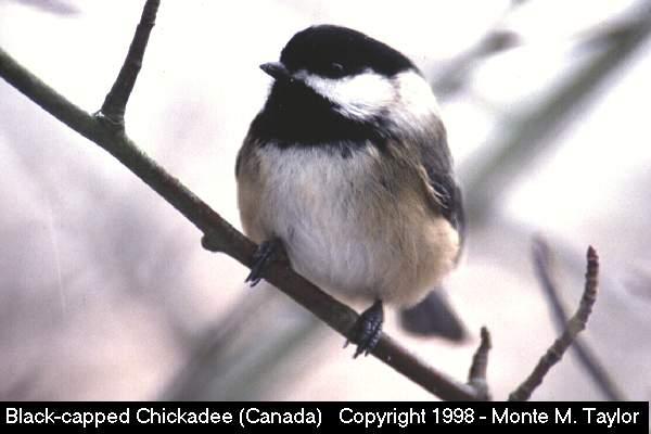 Black-capped Chickadee  (Pt. Pelee, Ontario, Canada)   (26579 bytes)