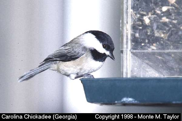 Carolina Chickadee  (Georgia)   (9322 bytes)