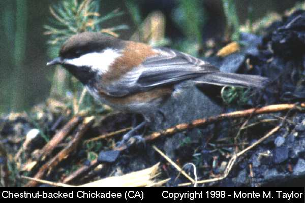 Chestnut-backed Chickadee  (California)   (33370 bytes)
