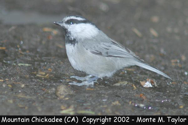 Mountain Chickadee (California)