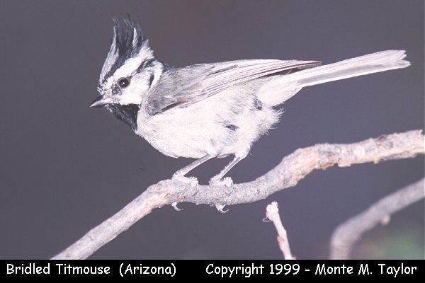 Bridled Titmouse  (Arizona)