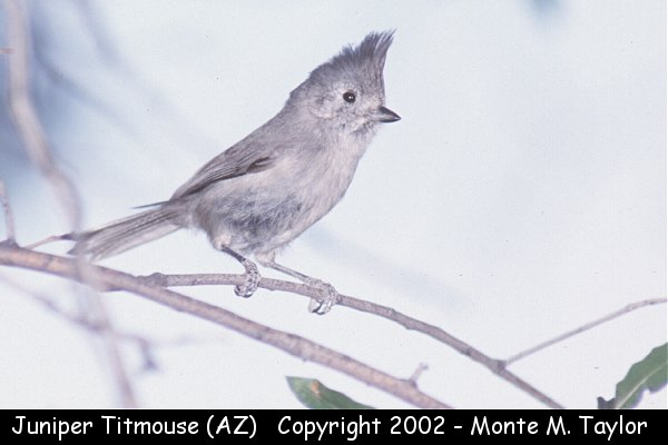 Juniper Titmouse  (Arizona)