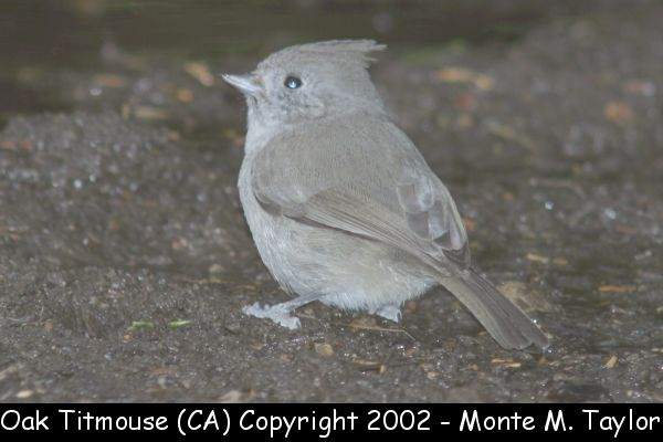 Oak Titmouse (California) split out from Plain Titmouse
