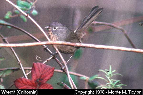 Wrentit  (California)   (34457 bytes)