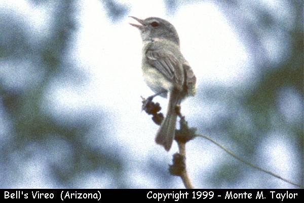 Bell's Vireo  (Arizona)
