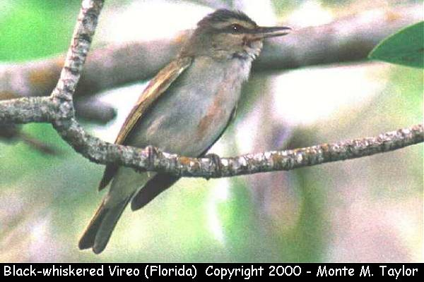 Black-whiskered Vireo  (Florida)