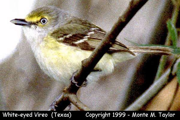White-eyed Vireo  (Texas)