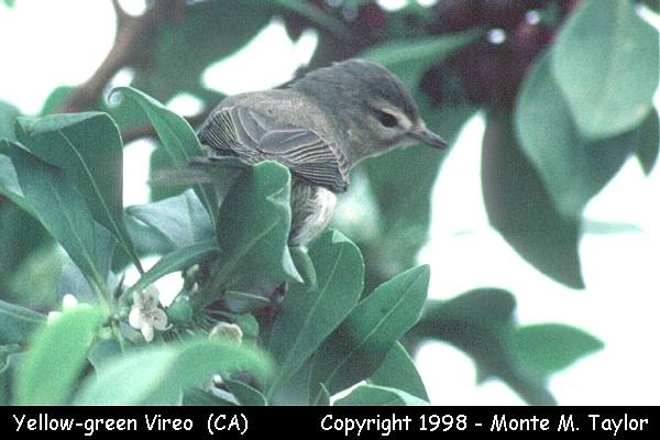 Yellow-green Vireo (California)