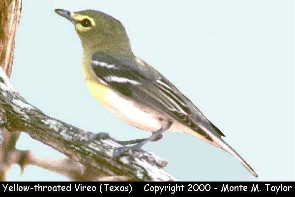Yellow-throated Vireo  (Texas)