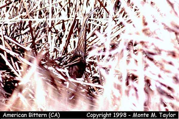 American Bittern  (California)