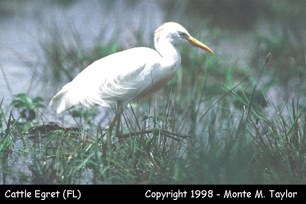 Cattle Egret  (Everglades NP, Florida)