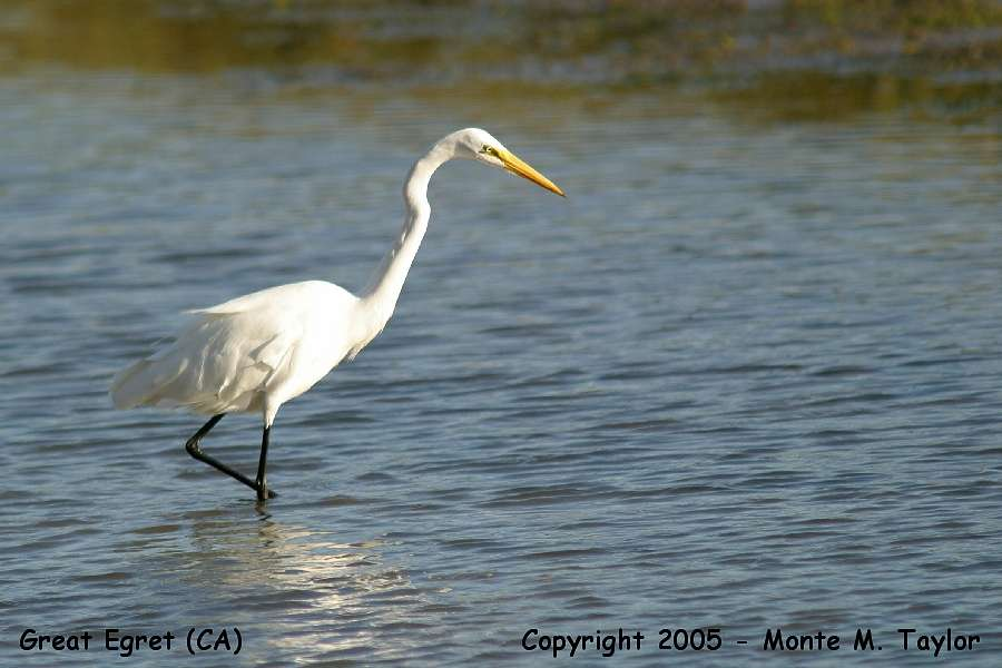 Great Egret  (California)