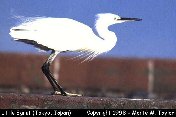 Little Egret  (Tokyo, Japan)