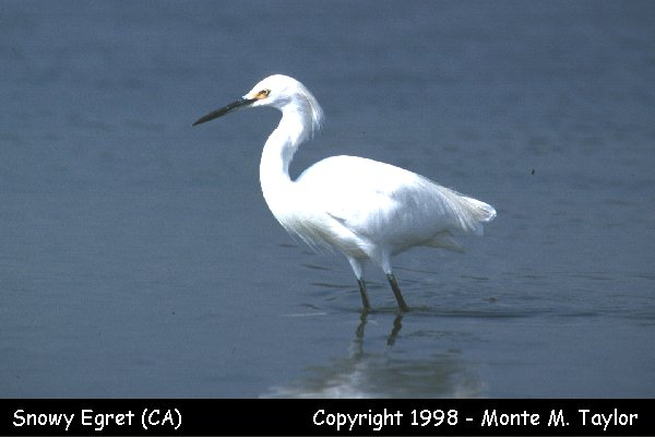 Snowy Egret  (California)