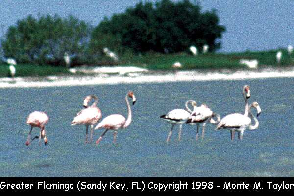 Greater Flamingo  (Sandy Key, Florida)
