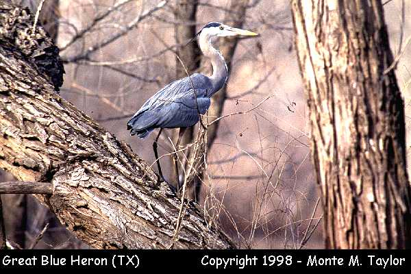Great Blue Heron  (Texas)