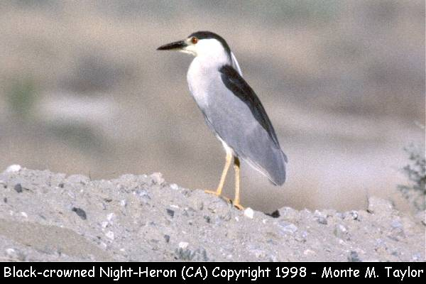 Black-crowned Night-Heron  (California)