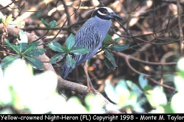 Yellow-crowned Night-Heron  (Everglades NP, Florida)