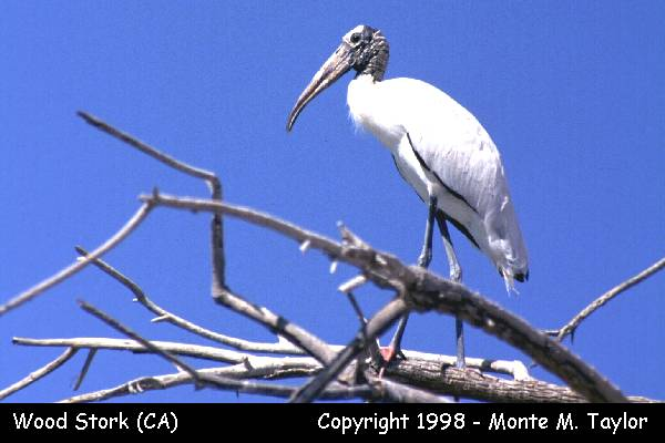 Wood Stork  (Salton Sea, California)