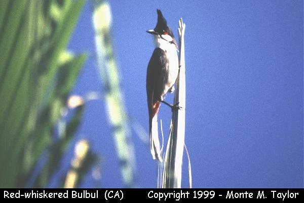 Red-whiskered Bulbul  (Huntington Gardens, Pasadena, California)