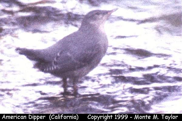 American Dipper  (California)