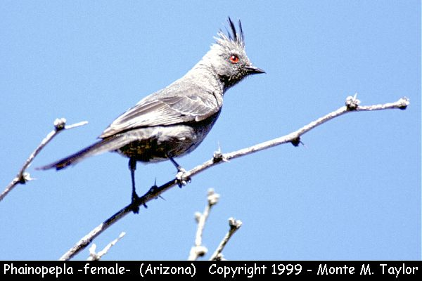 Phainopepla -female-  (Arizona)