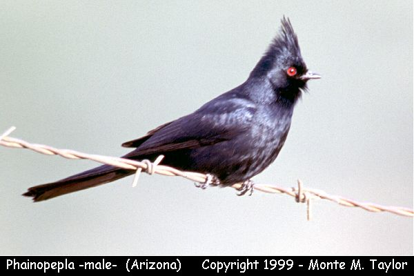 Phainopepla -male-  (Arizona)