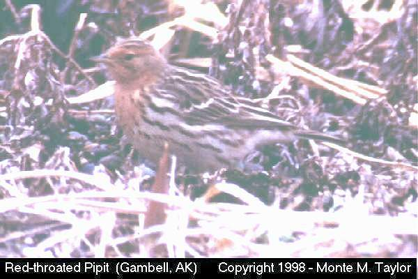 Red-throated Pipit  (Gambell, St. Lawrence Island, Alaska)