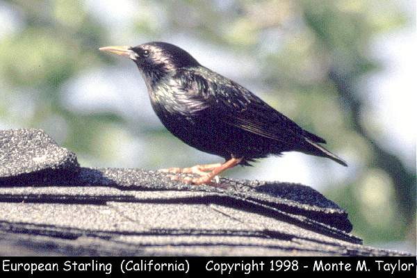 European Starling  (California)