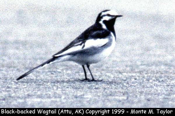Black-backed Wagtail  (Attu Island, Alaska)