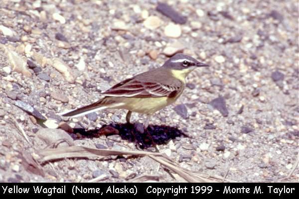 Eastern Yellow Wagtail  (Nome, Alaska)
