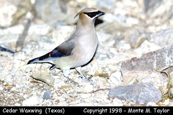 Cedar Waxwing  (Texas)