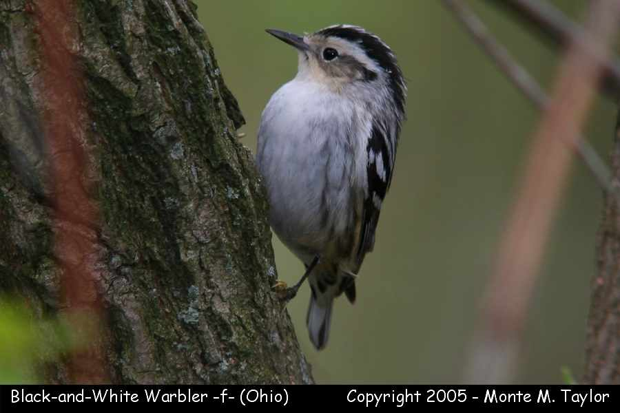 Black-and-white Warbler (female) - Ohio