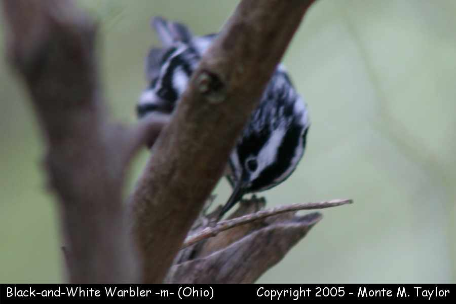 Black-and-white Warbler (male) - Ohio