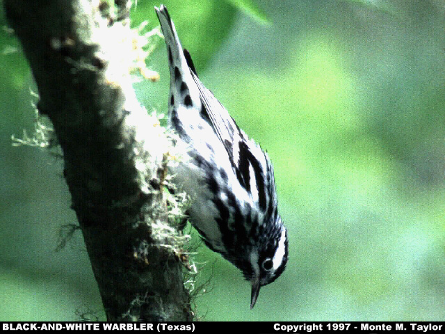 Black-and-white Warbler -male- (Texas)