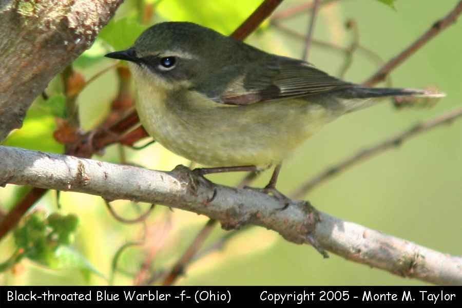Black-throated Blue Warbler (female) - Ohio