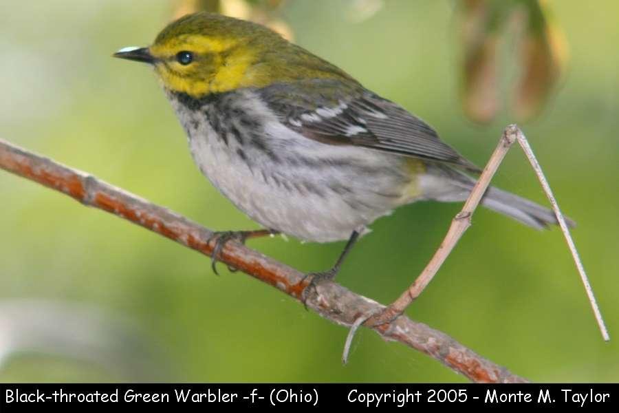 Black-throated Green Warbler (female) - Ohio