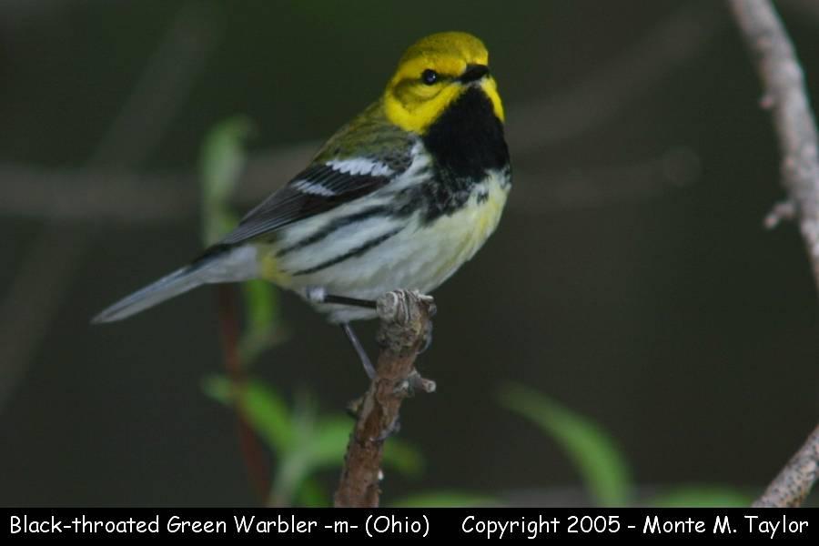Black-throated Green Warbler (male) - Ohio