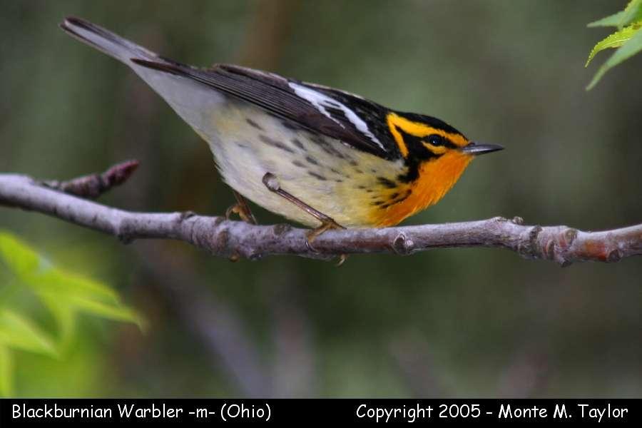 Blackburnian Warbler (male) - Ohio
