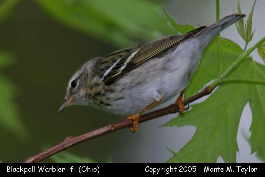 Blackpoll Warbler (female) - Ohio