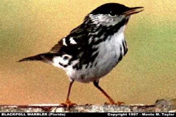 Blackpoll Warbler -male-  (Dry Tortugas, Florida)