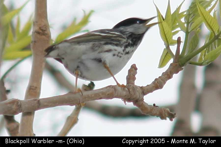 Blackpoll Warbler (male) - Ohio