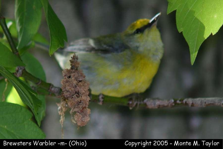 Brewsters Warbler - Ohio
