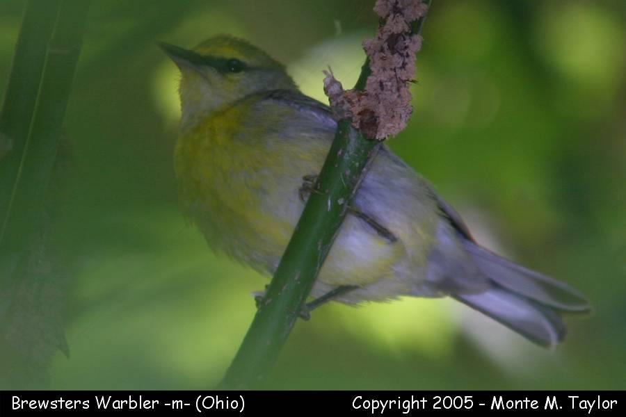 Brewster's Warbler - Ohio
