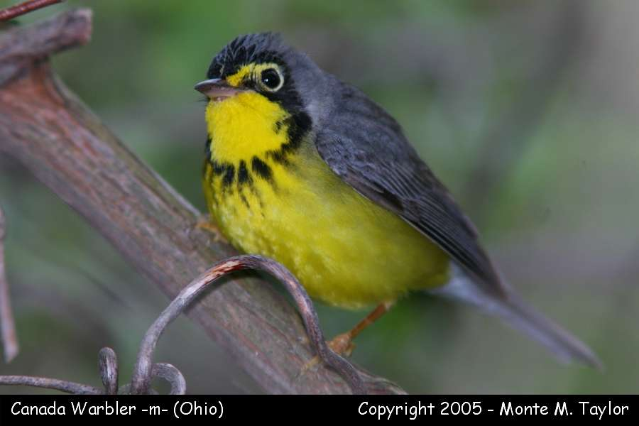 Canada Warbler (male) - Ohio