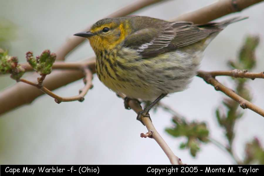 Cape May Warbler -female- (Ohio)