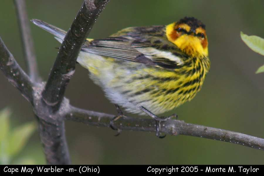 Cape May Warbler (male) - Ohio