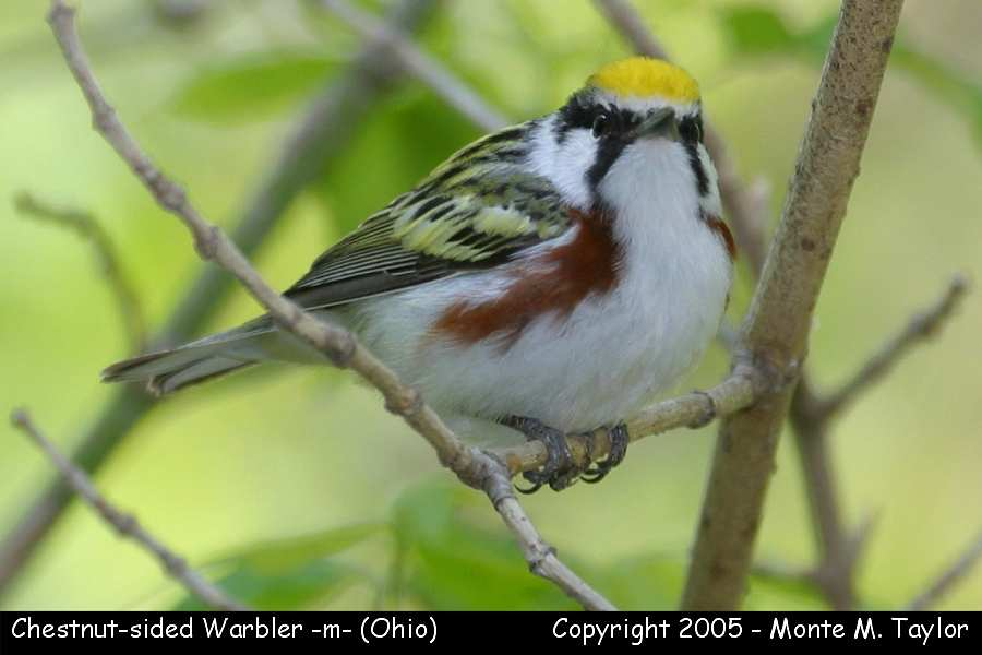 Chestnut-sided Warbler (male) - Ohio