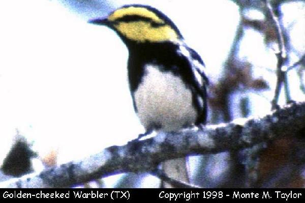 Golden-cheeked Warbler  (Kerrville, Texas)  (35689 bytes)