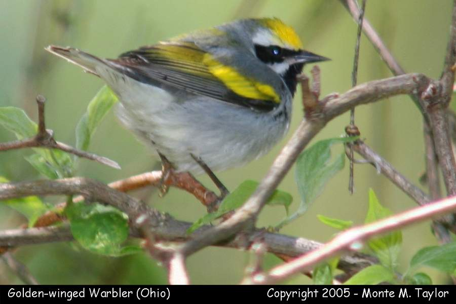Golden-winged Warbler -male- (Ohio)